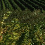 Filari di viti del Collio. E' da queste vigne che si producono alcuni dei più pregiati bianchi d'Italia